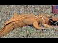 Trumpagator: Alligator colored orange like President Trump spotted in So...