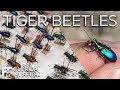 Tiger beetles: fierce hunters, fast movers