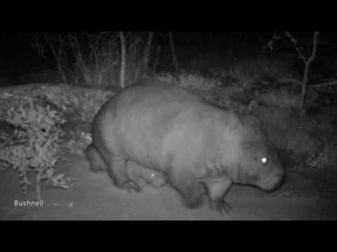 New baby northern hairy-nosed wombat and mother