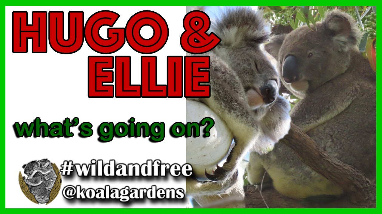 Ellie and Hugo – what the koala is going on?