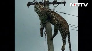 Horrified Villagers Filmed Leopard Electrocuted At Top Of 12-Foot Pole