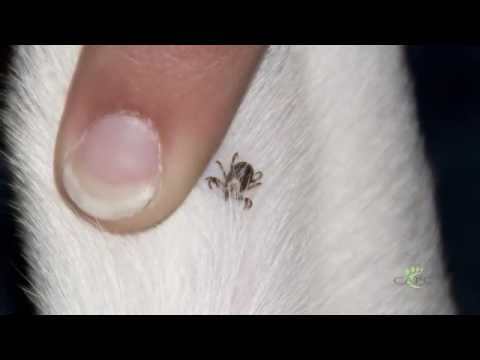 American Dog Tick: Dr Michael Dryden