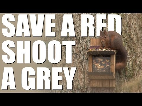 Red Squirrel Rangers shooting greys