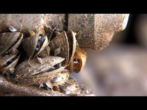 Video Stop Zebra Mussels - Texas Parks and Wildlife [Official]