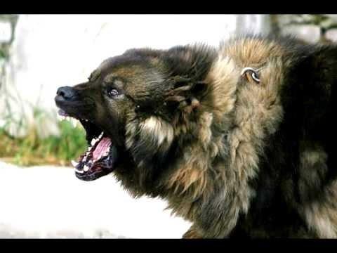 Mükemmel Çoban Köpekleri..!!! Dogs