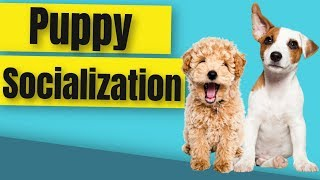 How to Socialize a Puppy Before Vaccinations