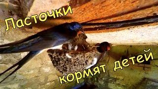 Чем питаются птенцы ласточки