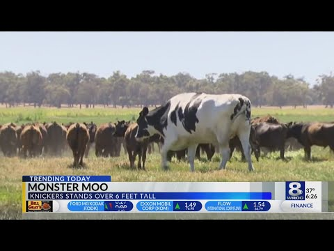 Is the World's Largest Cow in Australia?
