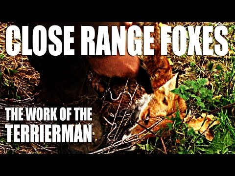 Close-range foxes: the work of the Terrierman