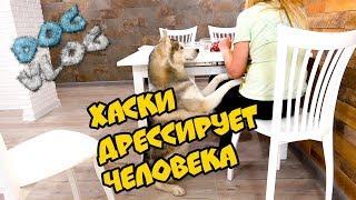 DOGVLOG: ХАСКИ ДРЕССИРУЕТ ЧЕЛОВЕКА! Говорящая собака