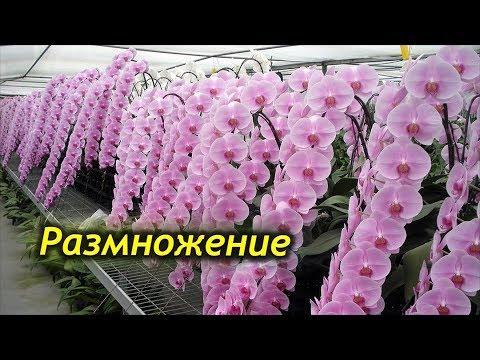 4 способа размножения Орхидеи в домашних условиях!