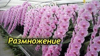 Как размножается орхидея в домашних условиях?