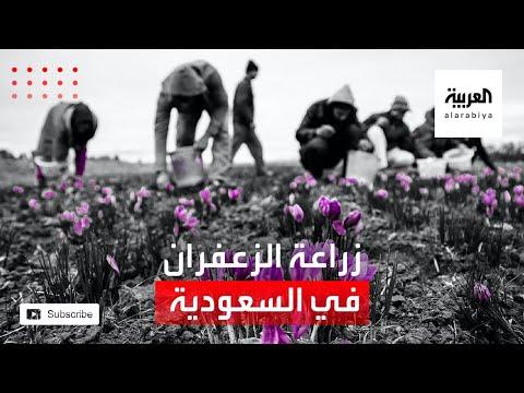العرب اليوم - شاهد: مزارع في جنوب السعودية يزرع الزعفران للمرة الأولى