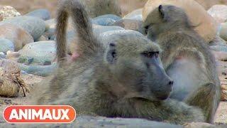 [DOCU] Babouins presque trop humains - Animaux
