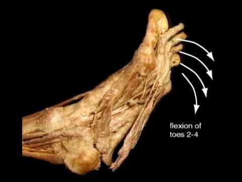 flexor digitorum brevis mpn anatomy orthobullets