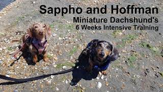 Sappho And Hoffman - Miniature Dachshunds - 6 Weeks Residential Training