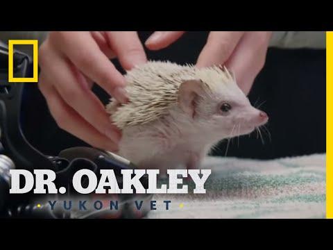 A Hedgehog Check-Up | Dr. Oakley, Yukon Vet