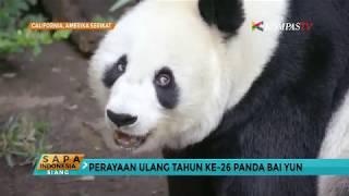 Panda Bai Yun Rayakan Ulang Tahun ke-26