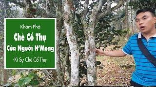Chè Cổ Thụ Của Người H'Mông – Kí Sự Chè Cổ Thụ – Tập 4