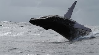preview picture of video 'Les baleines à bosse de Samana - the humpback whales'