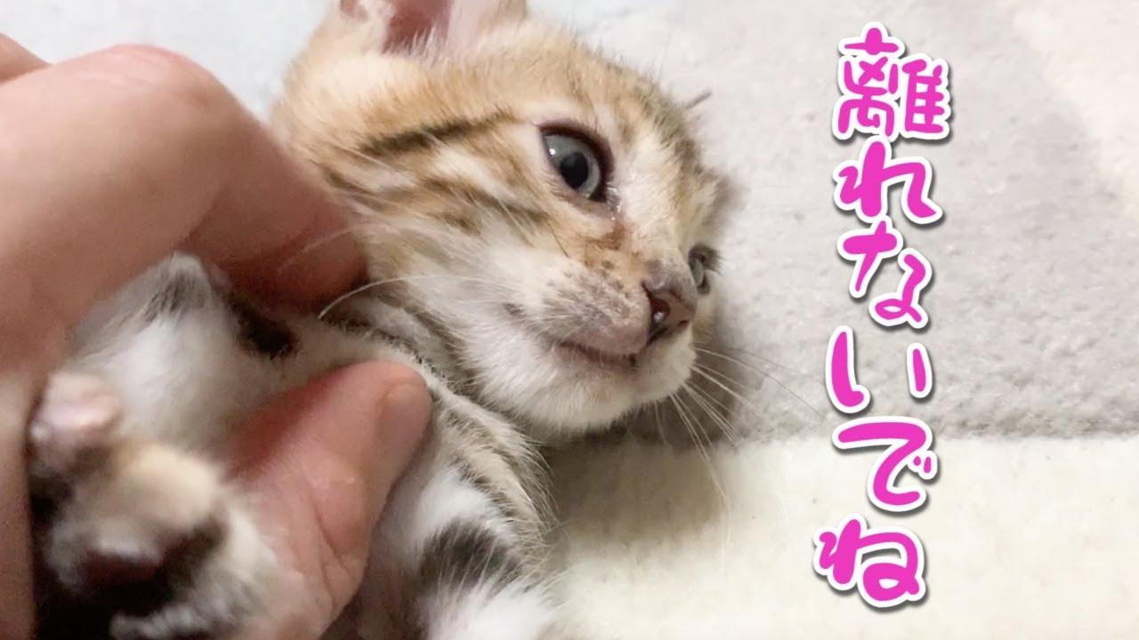 絶対離れない子猫が可愛すぎた