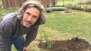 Pawpaw tree planting in NY State. Edible landscaping
