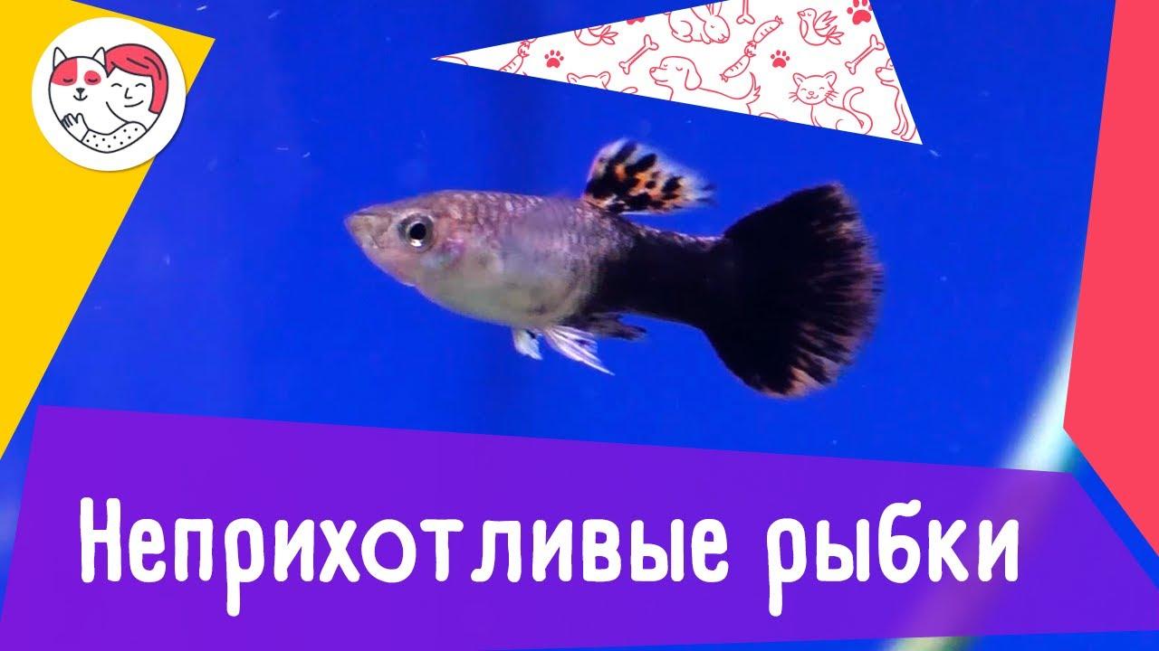 5 неприхотливых аквариумных рыбок для начинающих