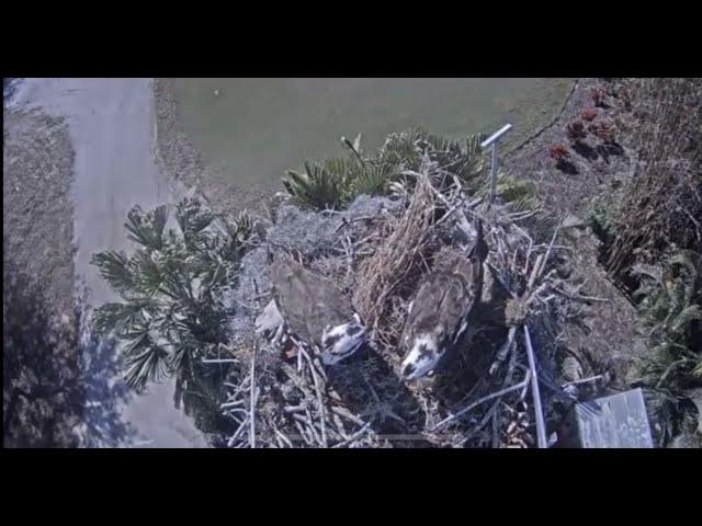 Live Webcam Loch Arkaig Osprey Nest