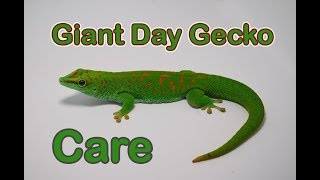Thinking of keeping Giant Day Geckos? WATCH THIS!