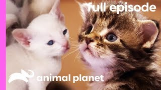 Tonkinese, American Curl, and Maine Coon Kittens | Too Cute! (Full Episode)