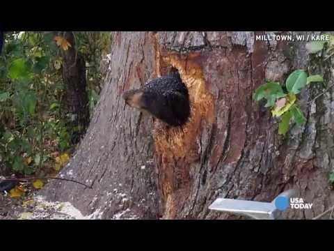Bear cubs get stuck in tree trunk