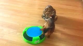Выпусник абиссинский котенок из питомника абиссинских кошек