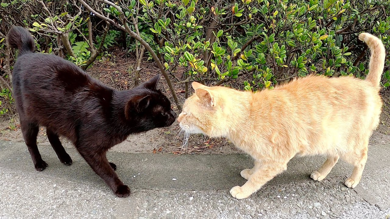 黒猫の散歩について行ったら、後ろから茶トラ猫もトコトコと追いかけてきた