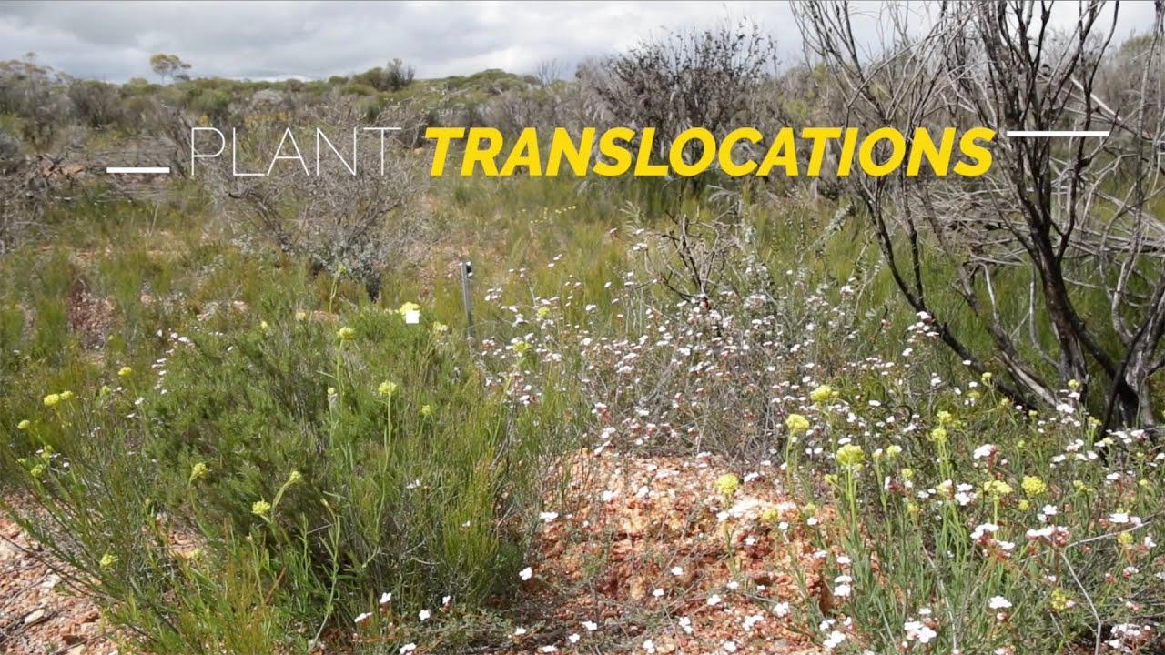 Saving an Endangered wattle: Translocating Acacia cochlocarpa