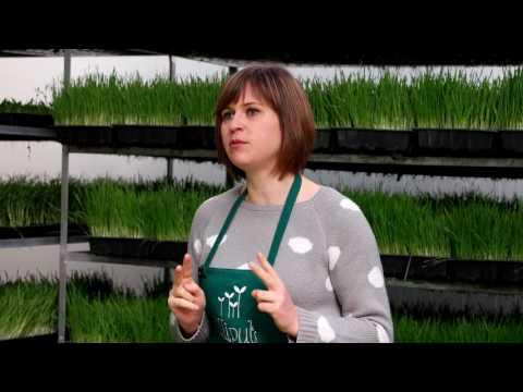 Zumo de hierba de trigo en polvo vs hierba de trigo en polvo