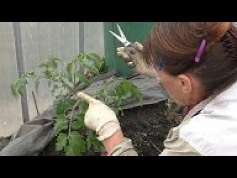 Посадка томата по методу А.К.Попова и И.М.Маслова. Выращивание томатов по интенсивной технологии.