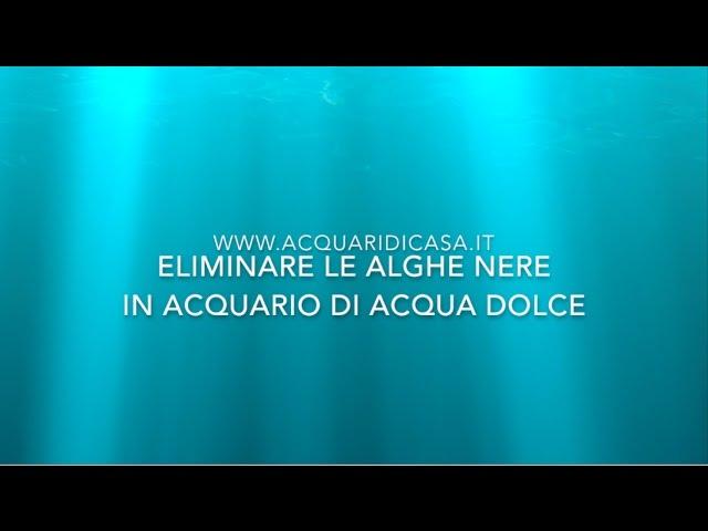Come eliminare le alghe nere da un acquario di acqua dolce