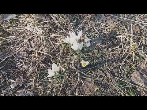 Spring trip to the mountains / Meadow of Snowdrop / Весенняя поездка в горы 2 / Поляна подснежников