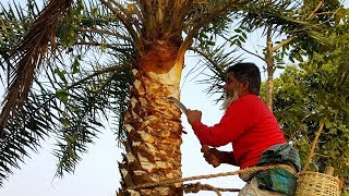 Extraction Of Date Palm Juice - Kheer/Payesh Cooking Using Fresh Palm Juice - Tasty Village Food