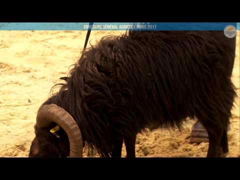 Voir la vidéo : Ring Ovins et Caprins du 25 février 2017