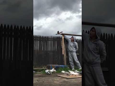 , title : 'my uzbek pigeon tumbler