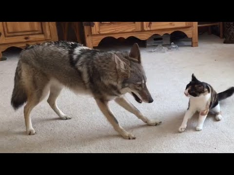 Adorable - Coyote and Cat Play-Fight Each Other