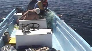 Освобождение горбатого кита