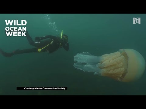Watch: Diving with Giant Barrel Jelly Fish