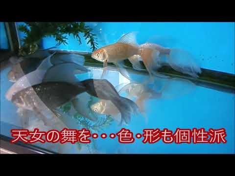 鉄魚【羽衣鮒・羽衣天女など伝説】