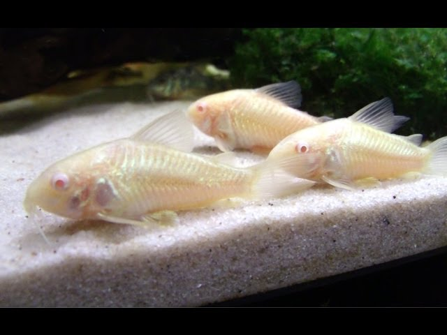 Breeding Cory Catfish: A HOW TO VIDEO