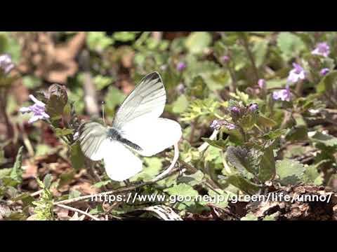 ヤマトスジグロシロチョウ春型の飛翔