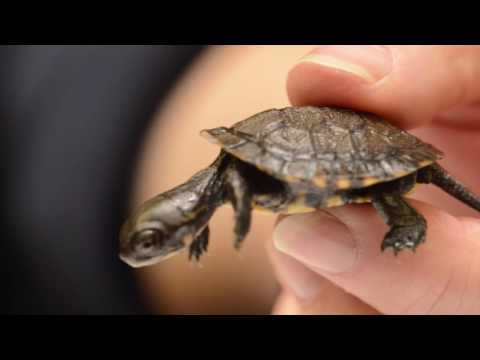 Saving Endangered Turtles in the Pacific Northwest