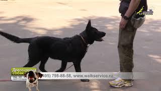 Команда обход, подкрепление лазерной указкой, щенок ВЕО