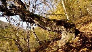 TOURIST FOUND AN UNUSUAL TREE IN THE FOREST интересные места для туриста